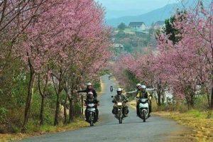 Dốc Đa Qúy con đường hoa Mai Anh Đào đẹp nhất Đà Lạt